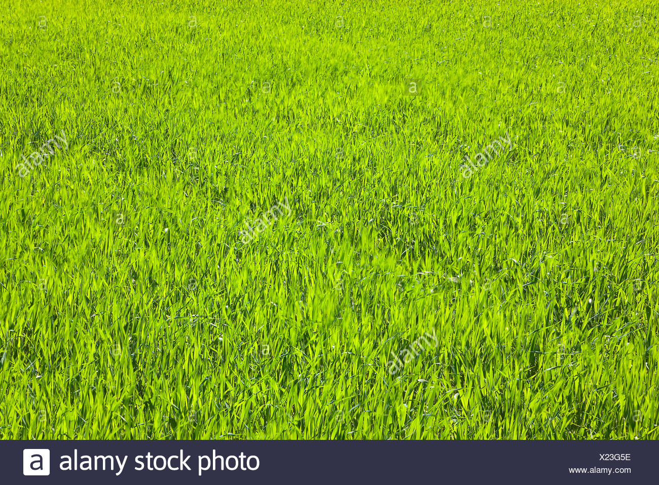 Nature, grass, plant, mowed, lawns, blades of grass, meadow, green - Stock Image