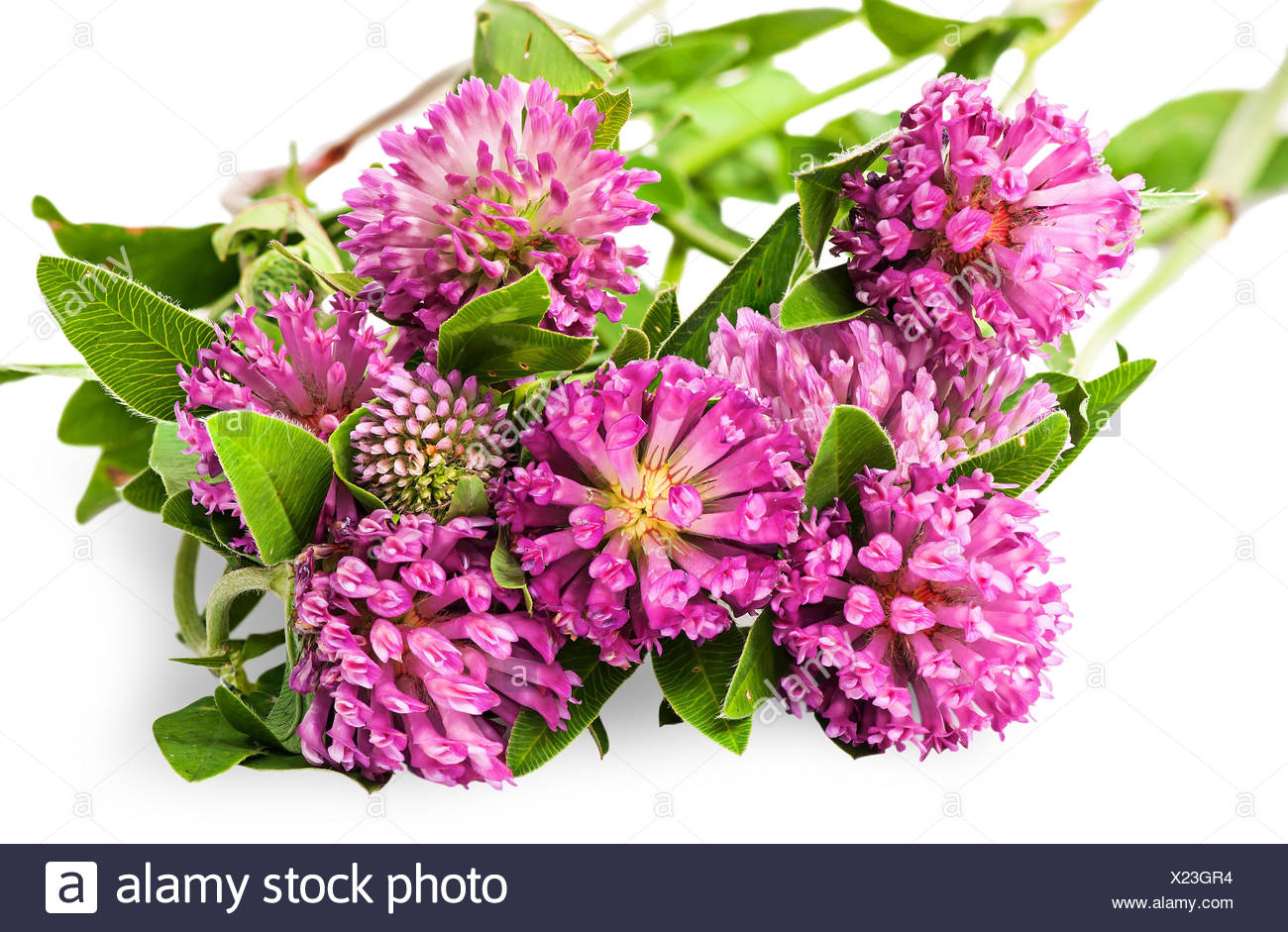 Closeup bouquet of clover flowers with green leaves Stock Photo