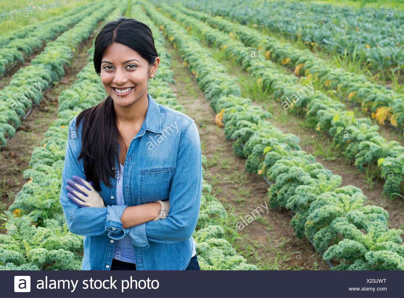 Rows of curly green vegetable plants growing on an organic farm.  A man inspecting the crop. - Stock Image