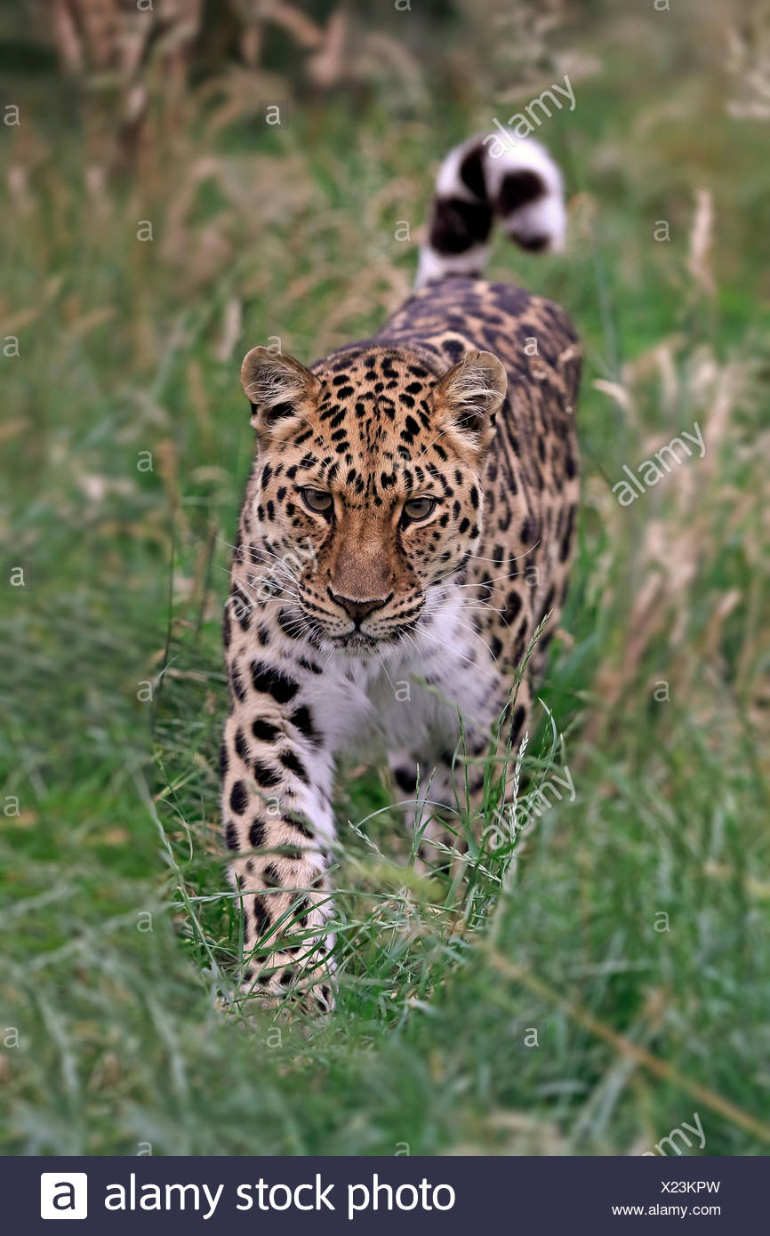 Amur Leopard (Panthera pardus orientalis), adult, stalking, native to Asia, captive, England, United Kingdom - Stock Image