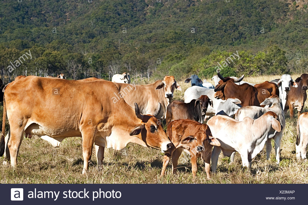 Australian Beef Cattle Herd Of Cows On Ranch With Brahman