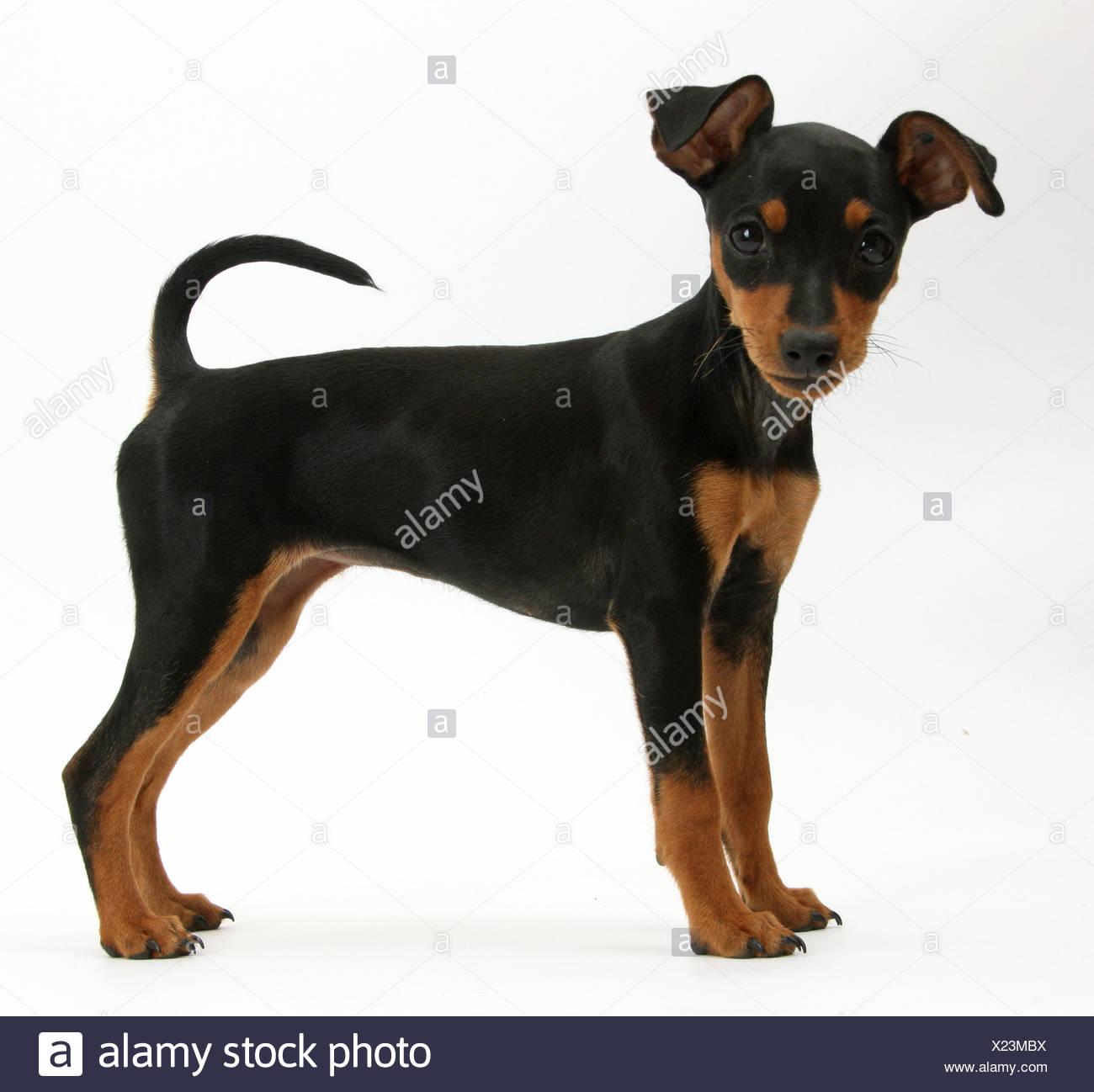 Miniature Pinscher puppy, standing. - Stock Image