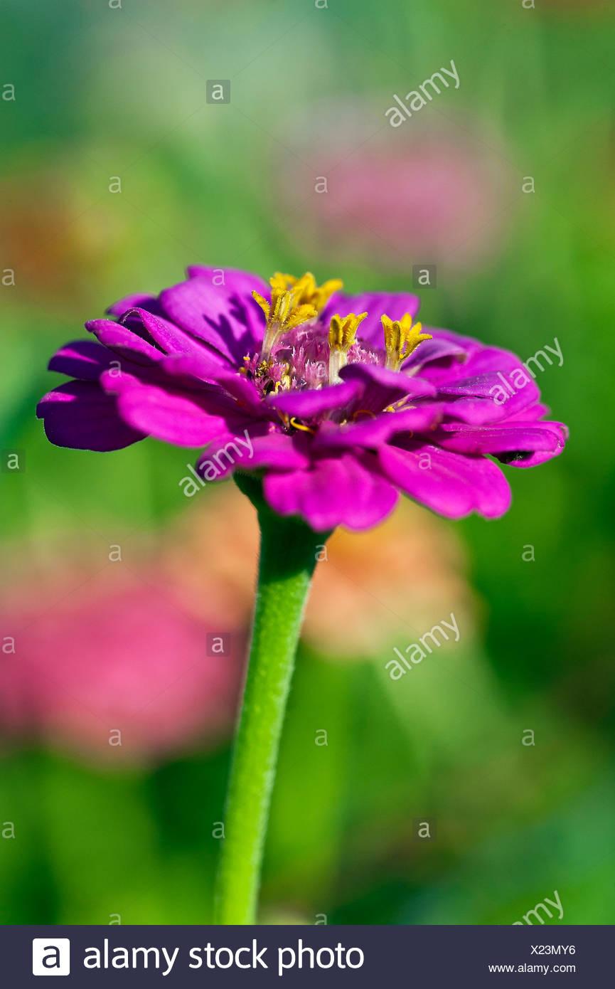 Zinnia flower in bloom, Asteraceae - Stock Image