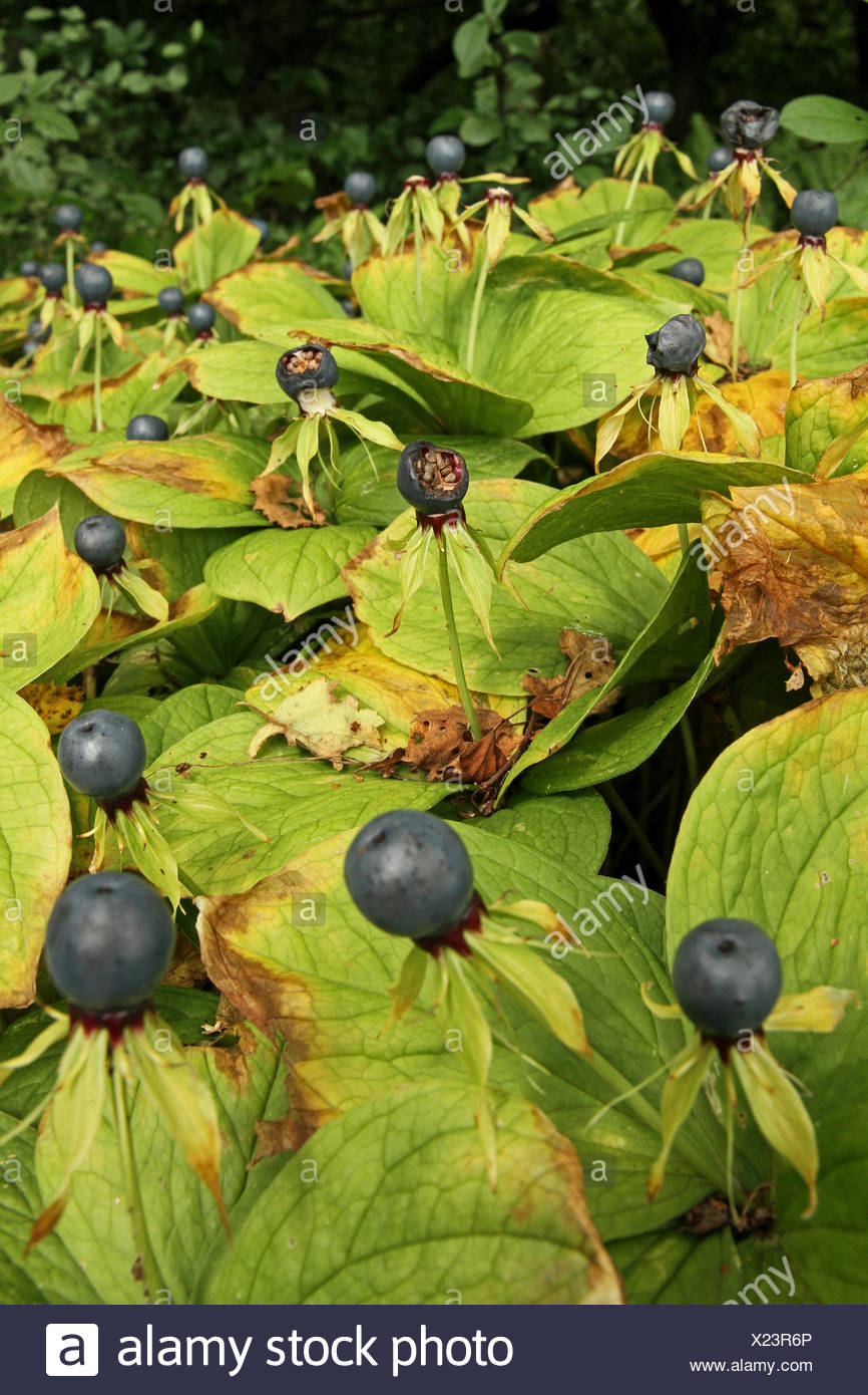 Herb Paris Plants With Berries Stock Photo 276679278 Alamy