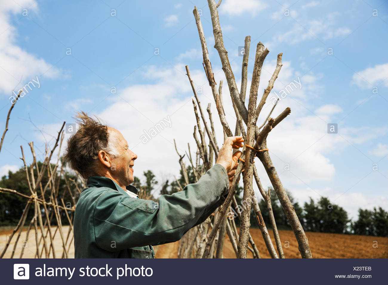 A man tying in poles in a line of bean pole supports. - Stock Image