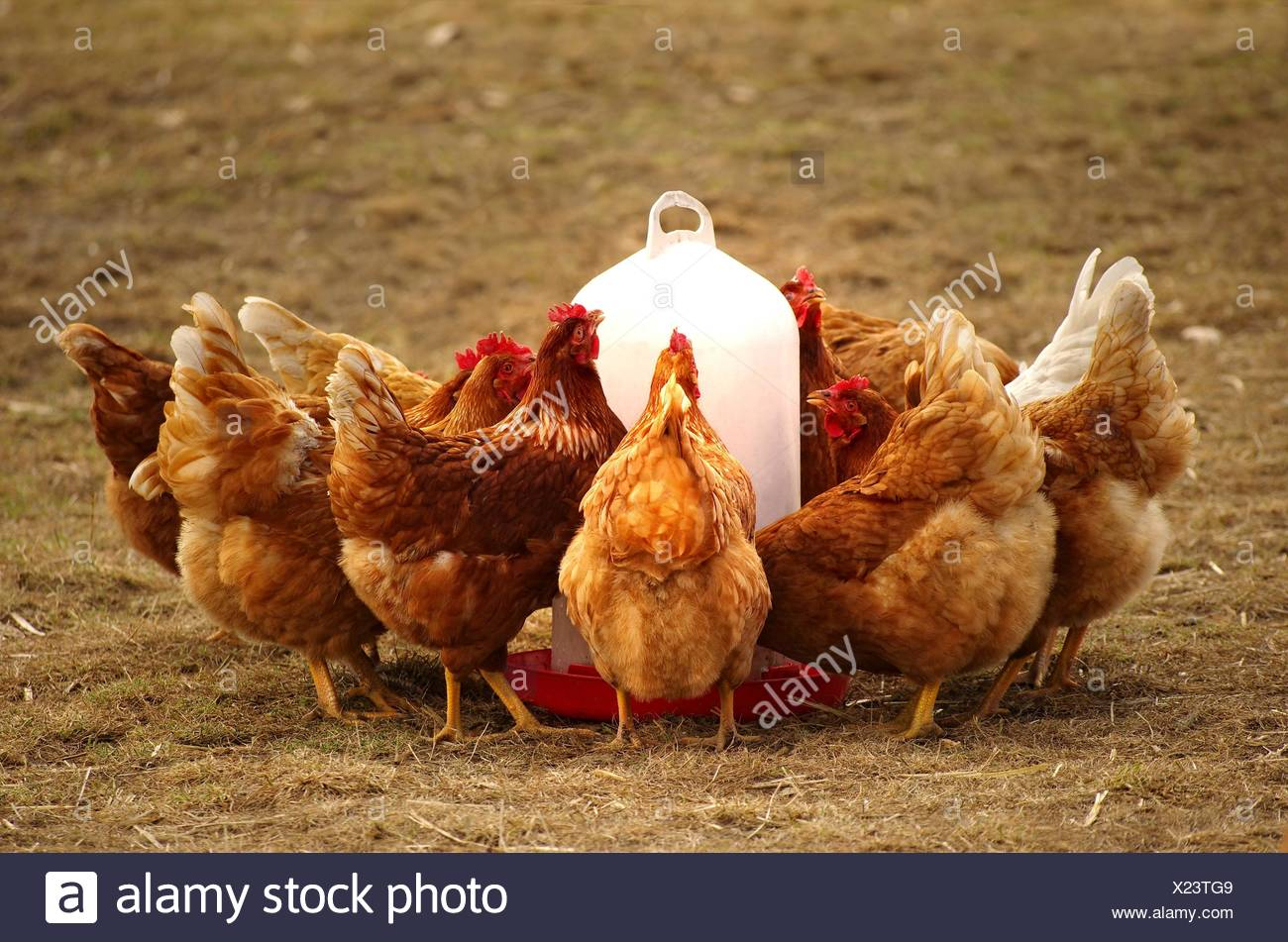 group hens in free range at the feeding trough - Stock Image