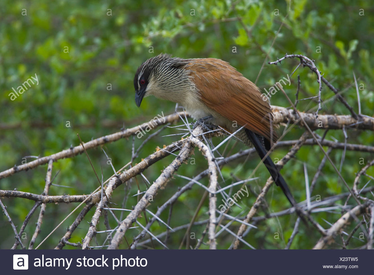 white-browed coucal (Centropus superciliosus), on shrub, Namibia, Mahango National Park - Stock Image