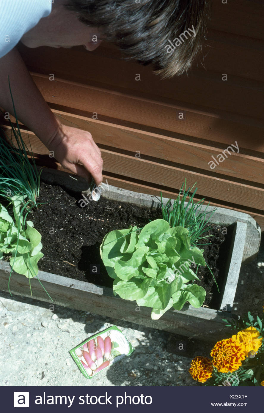 Close-up of a woman planting up a window box with lettuce and chives     FOR EDITORIAL USE ONLY - Stock Image
