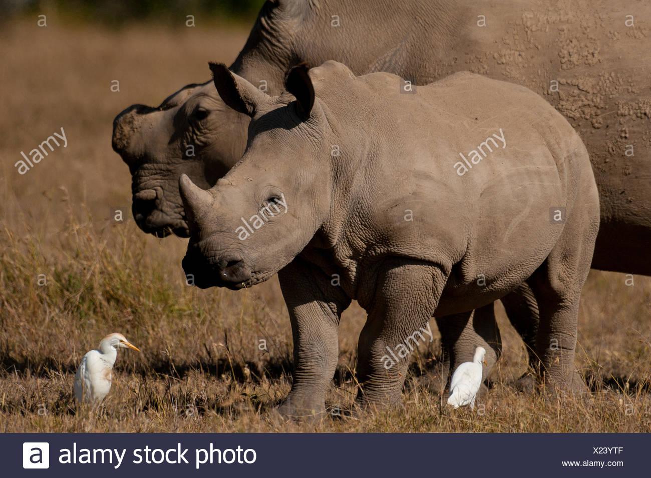 Southern White Rhino and baby in special rhino sancturay, Ol Pejeta Conservancy; Kenya - Stock Photo