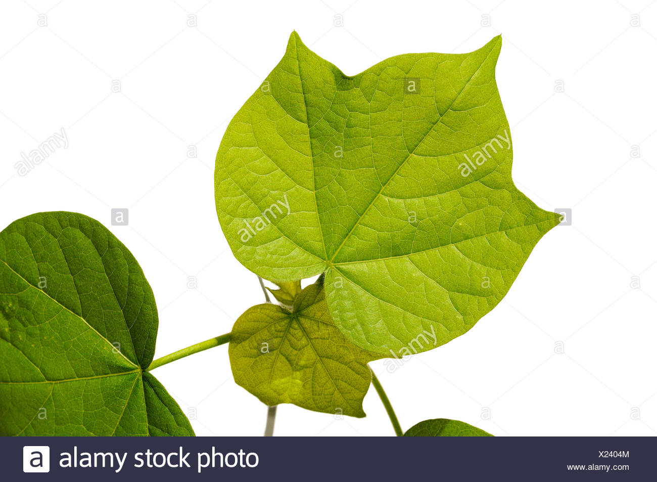 Serrated leaves of a cotton plant (Gossypium herbaceum) - Stock Image