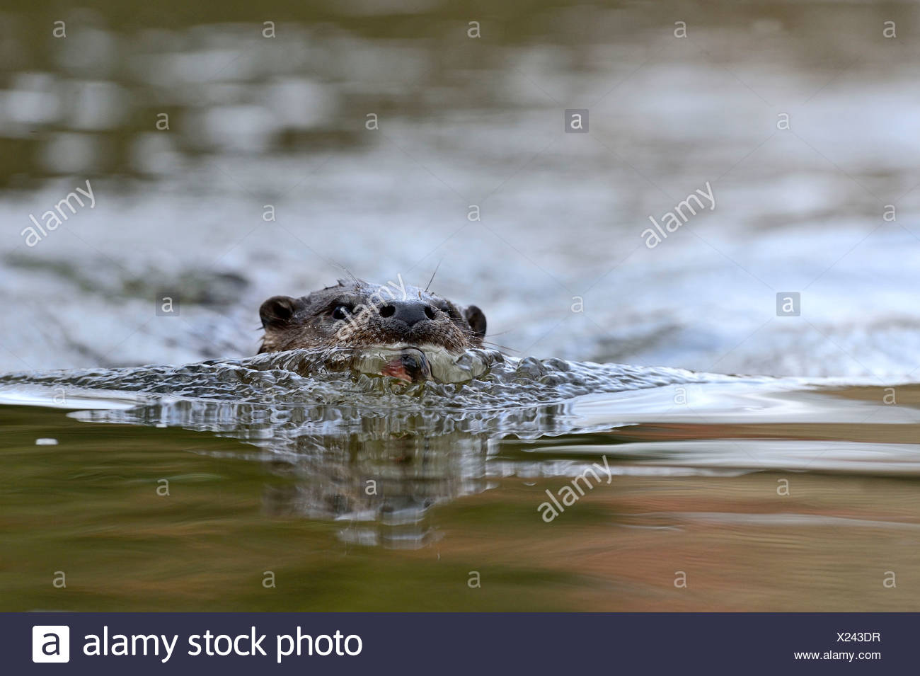 Otter Lutra lutra on River Thet Thetford Norfolk - Stock Image
