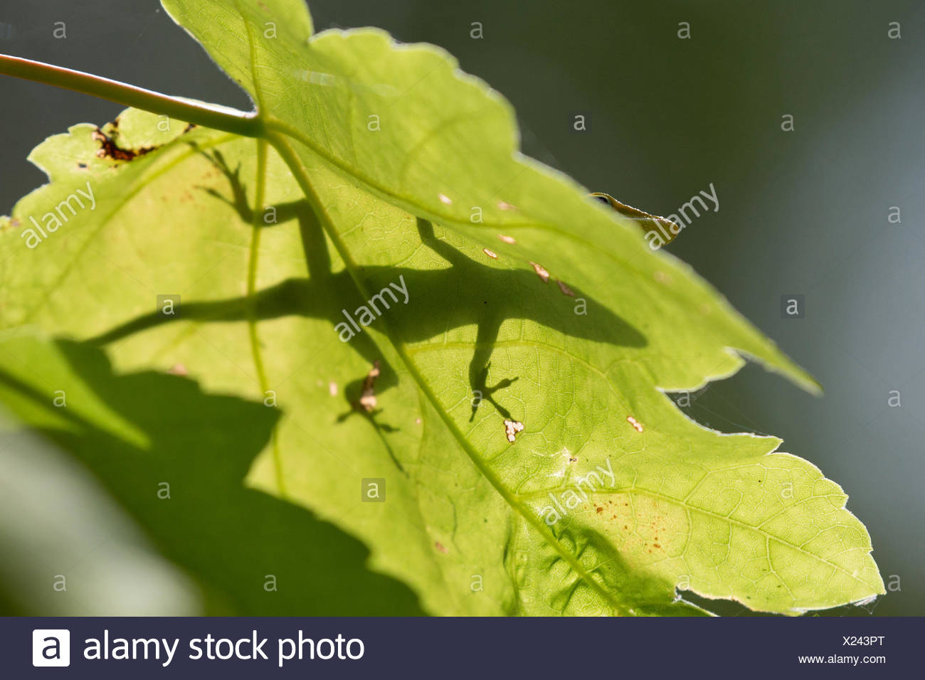 green anole (Anolis carolinensis), shaddow on a loeaf in backlight, USA, Florida - Stock Image