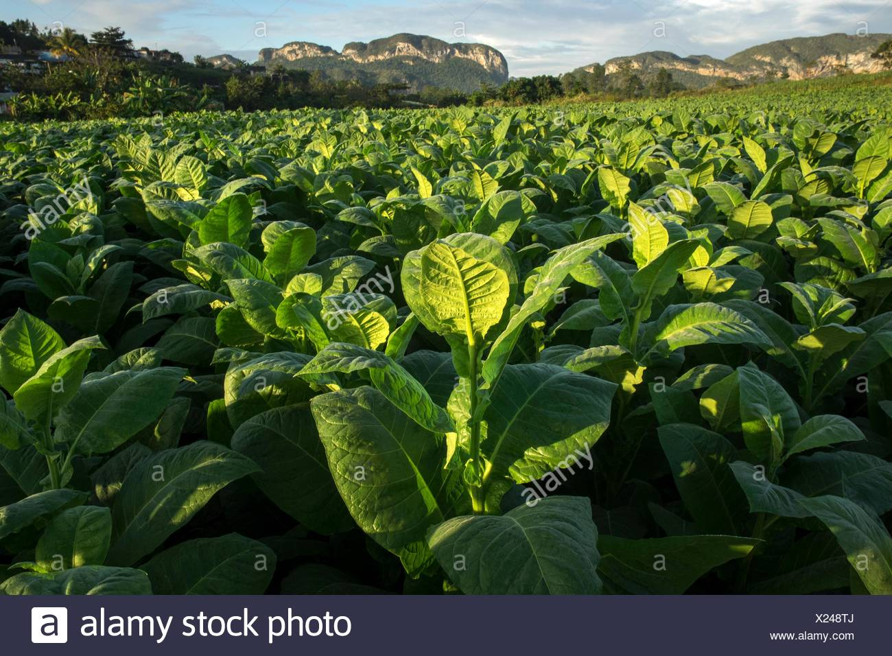 A large field of tobacco. - Stock Image