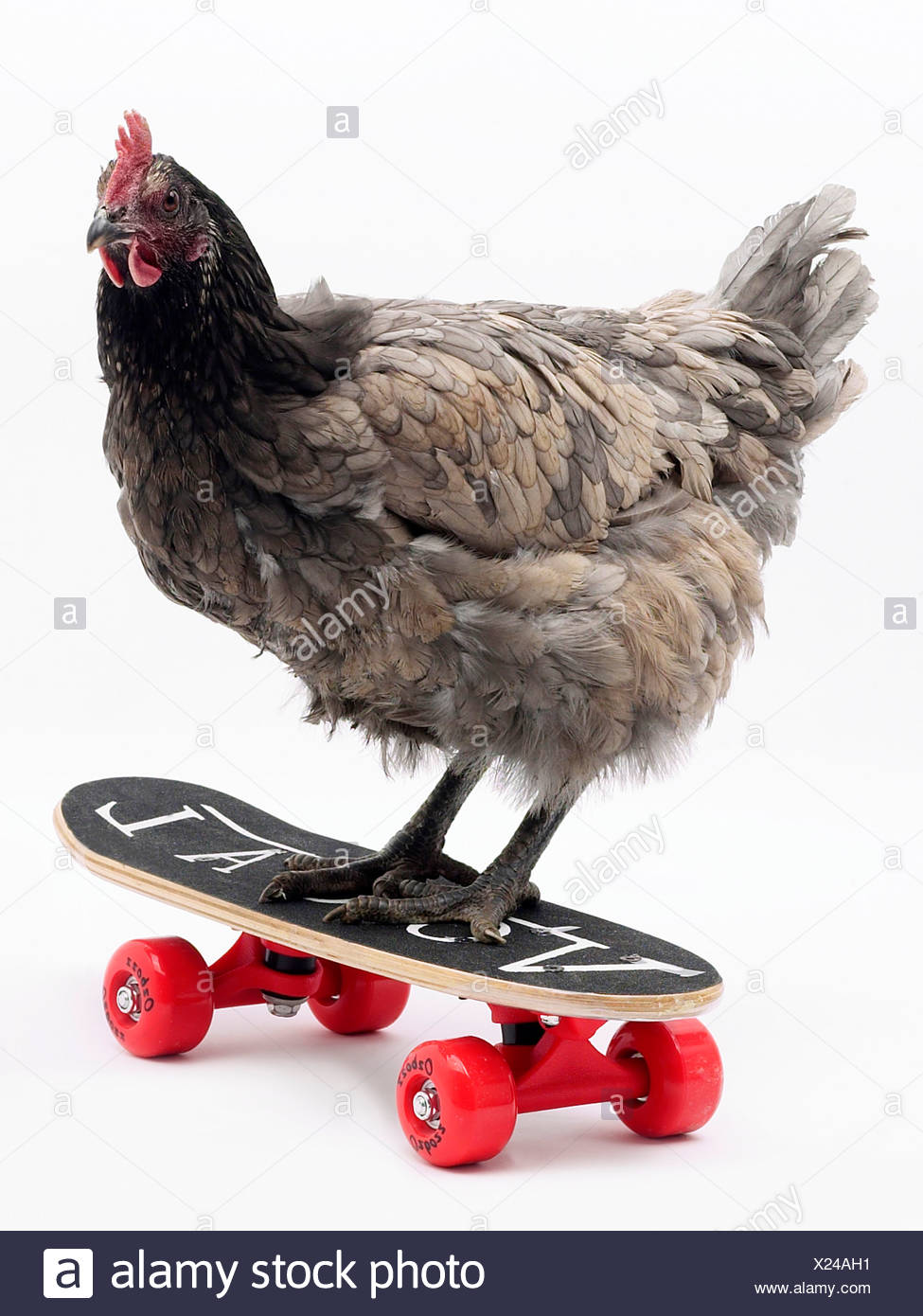 Chicken on a skateboard  poultry in motion. - Stock Image