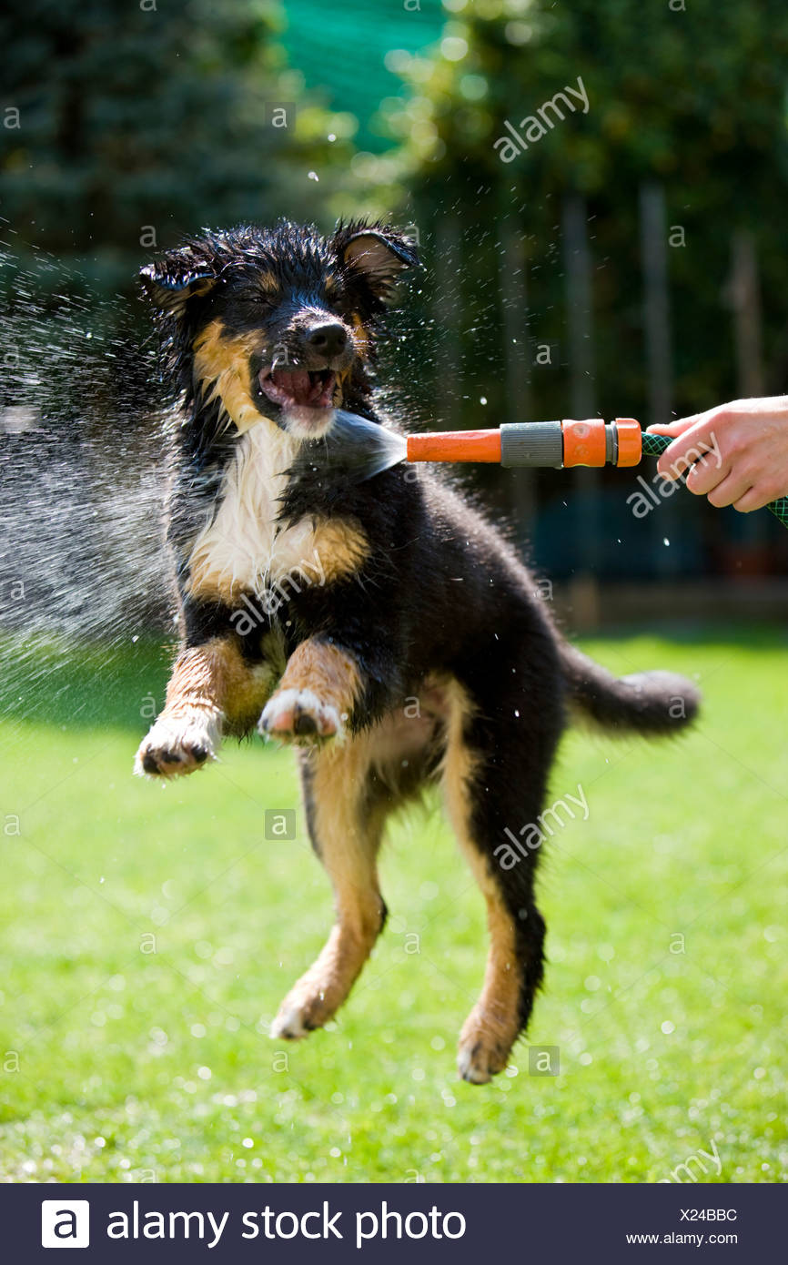Dog Playing With Hose Stock Photos & Dog Playing With Hose
