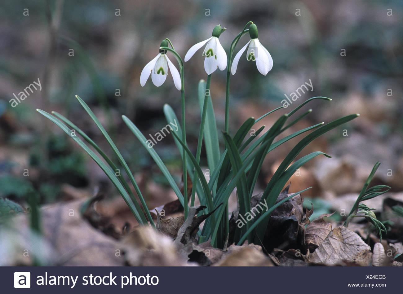 Snow Little Bells Galanthus Nivalis Flower Spring Flowers Spring