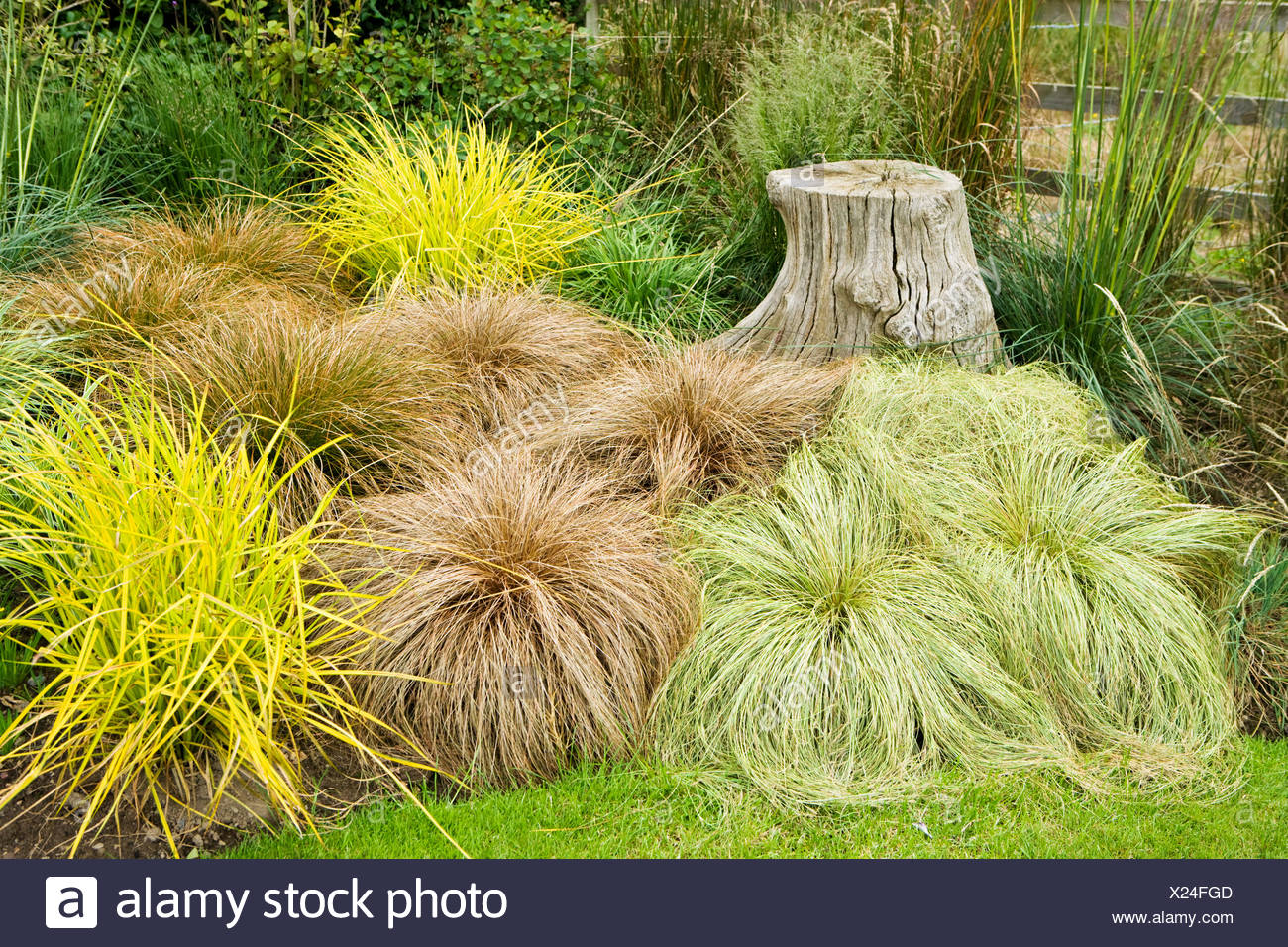Uberlegen Carex Testacea Stock Photos U0026 Carex Testacea Stock Images   Alamy