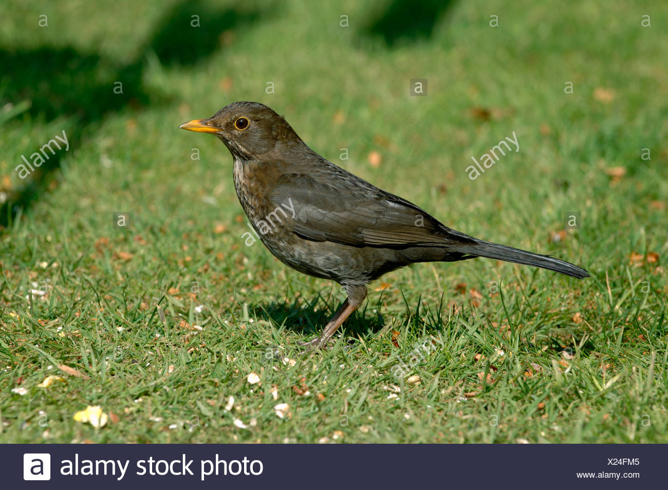Female hen blackbird with birdfood on a garden lawn in spring - Stock Image