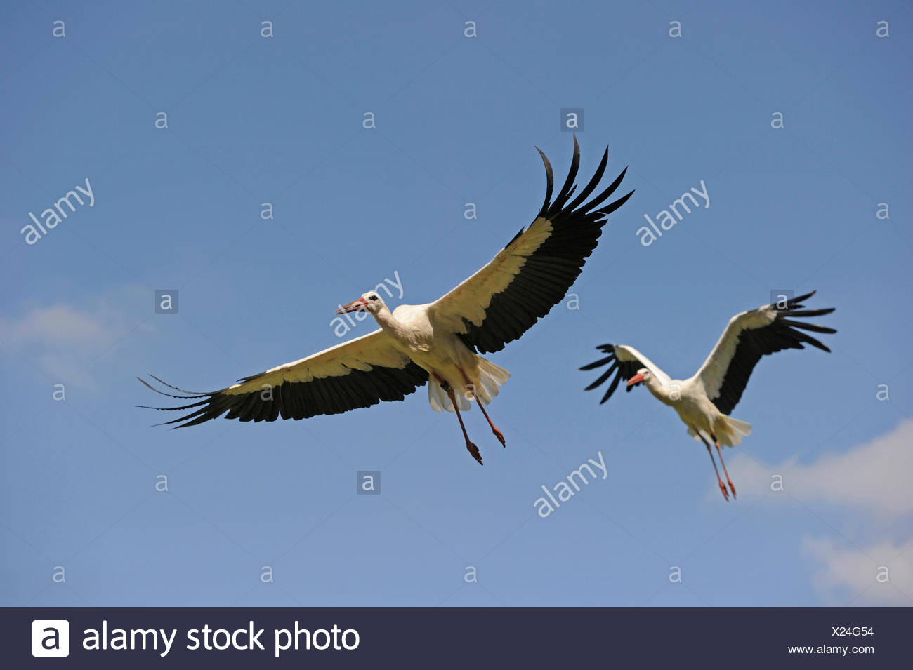 white stork (Ciconia ciconia), couple flying, Germany Stock Photo