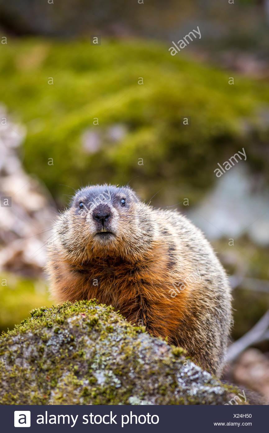 Woodchuck (Marmota monax), Frontenac Provincial Park, Ontario, Canada - Stock Image