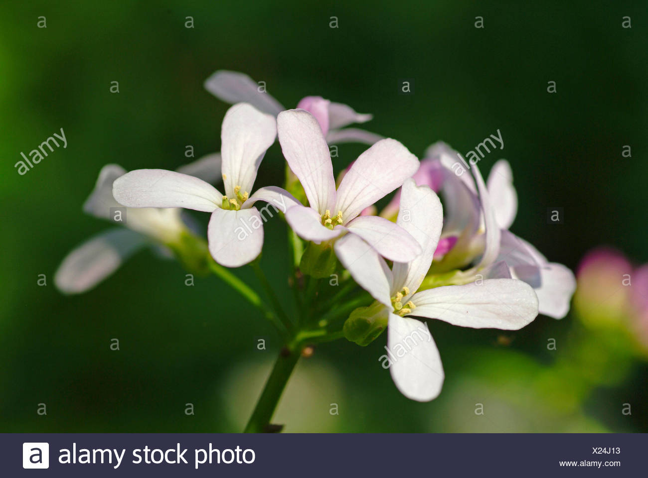 Coralroot, Bulb-bearing toothwort (Cardamine bulbifera, Dentaria bulbifera), flowers, Germany - Stock Image