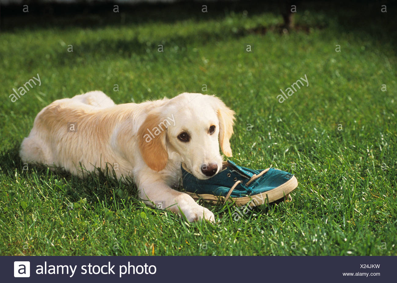 bad habit: young Golden Retriever  chewing on a shoe - Stock Image