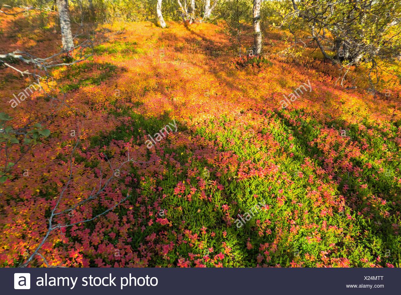 taiga autumn, Norway, Troms, Breivikeidet - Stock Image