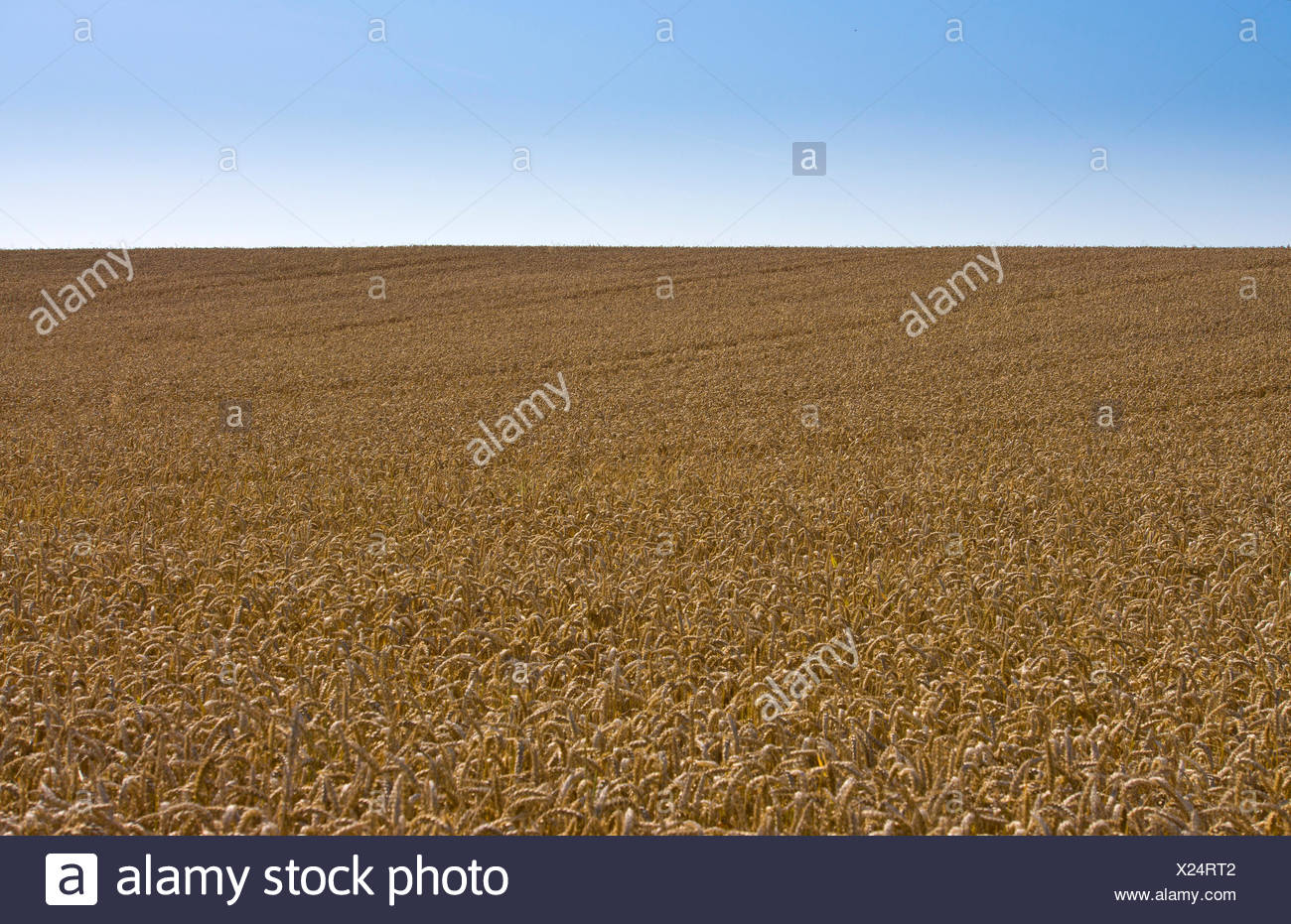 Wheat field, cornfield, Ostheim, Nidderau, Hesse, Germany - Stock Image