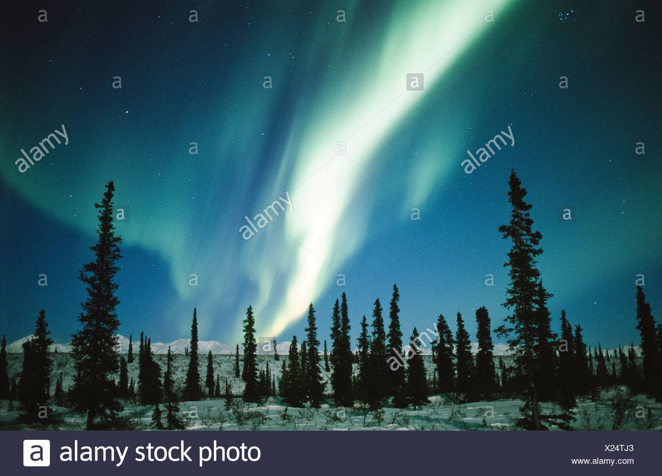 Alaska. Silhouetted trees rise up before the Aurora Borealis. - Stock Image