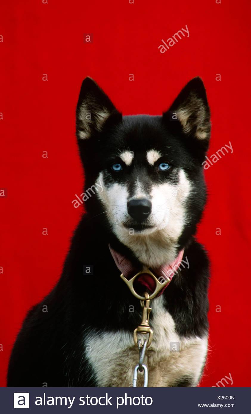 Alaska. Blue eyed female Alaskan Husky dog. Stock Photo