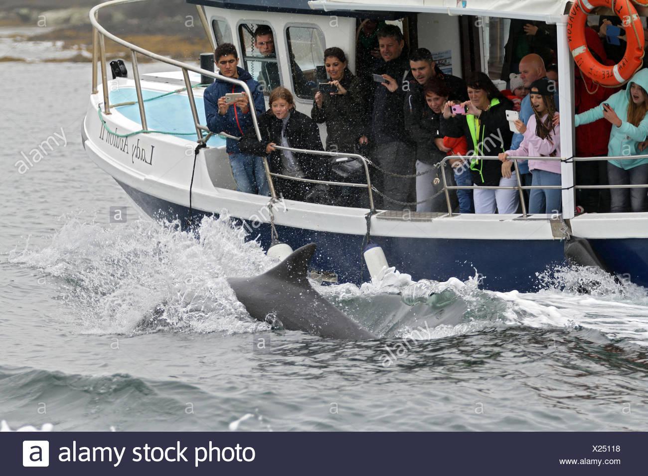 Dolphin watching, Dingle, Ireland - Stock Image