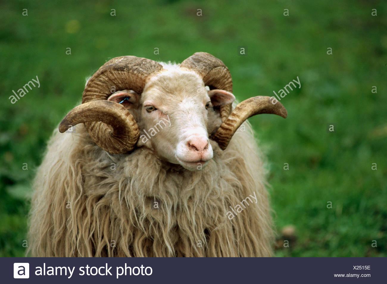 zoology / animals, mammal / mammalian, sheep, (Ovis), Walachian sheep, detail: head, distribution: Slovakia, Czech Republic, Ger - Stock Image
