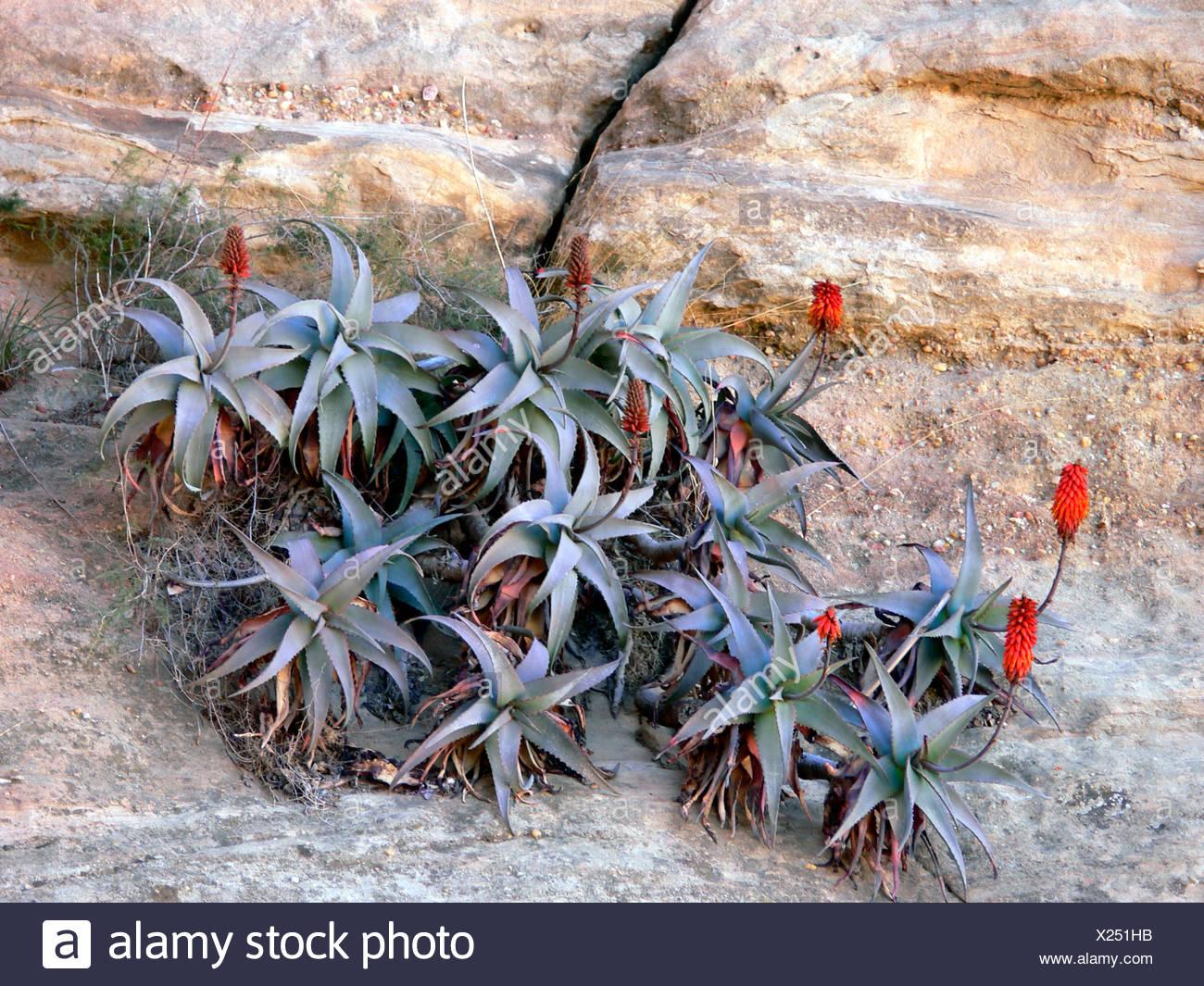Aloe (Aloe spec.), blooming plants, Yemen, Thulla - Stock Image