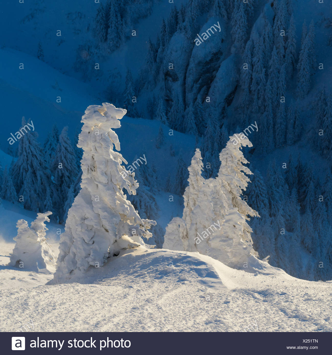 Frost-covered spruce trees, Picea abies, gleam in sunlight. - Stock Image