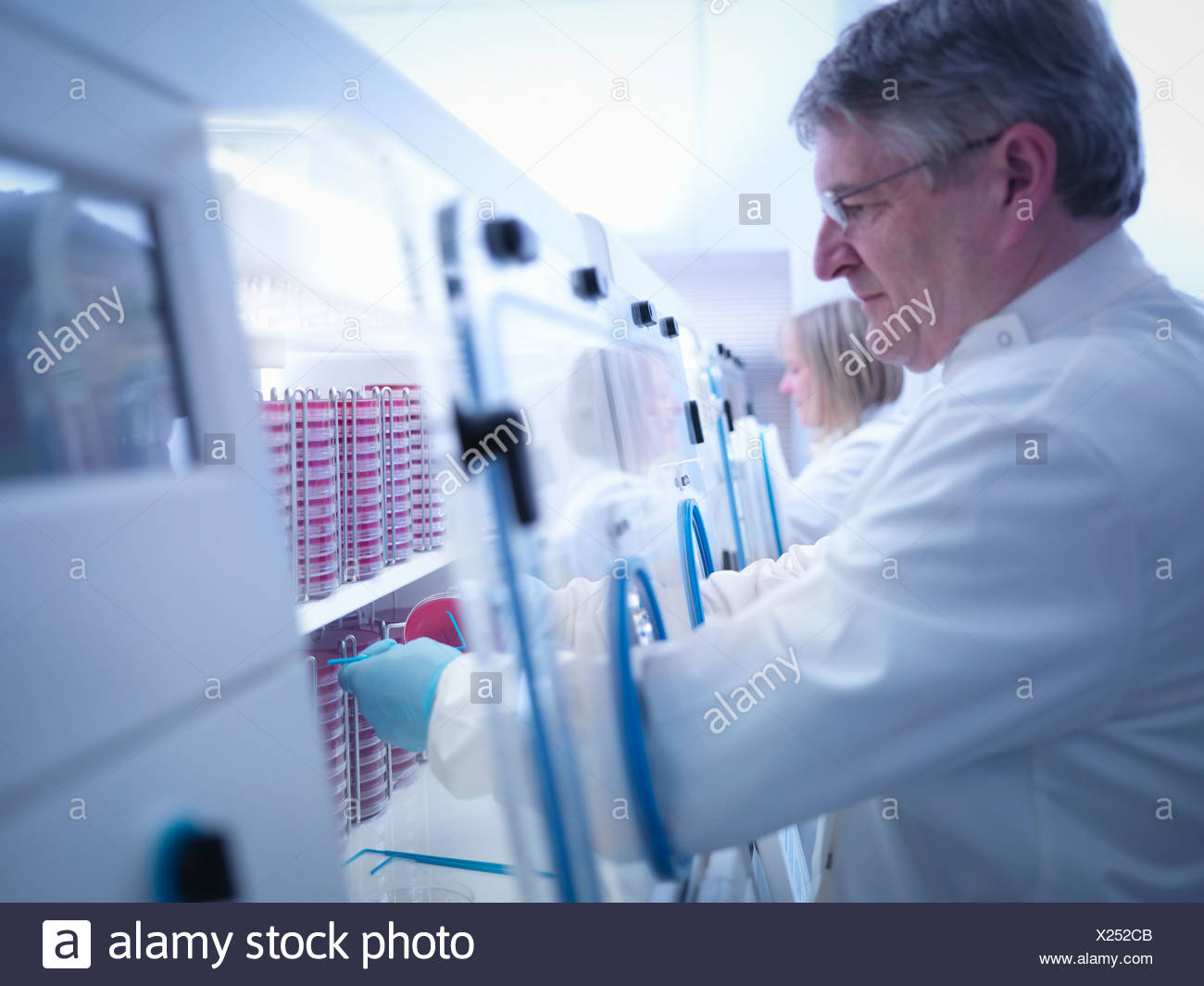 Scientist making bacterial culture in agar inside laboratory workstation - Stock Image