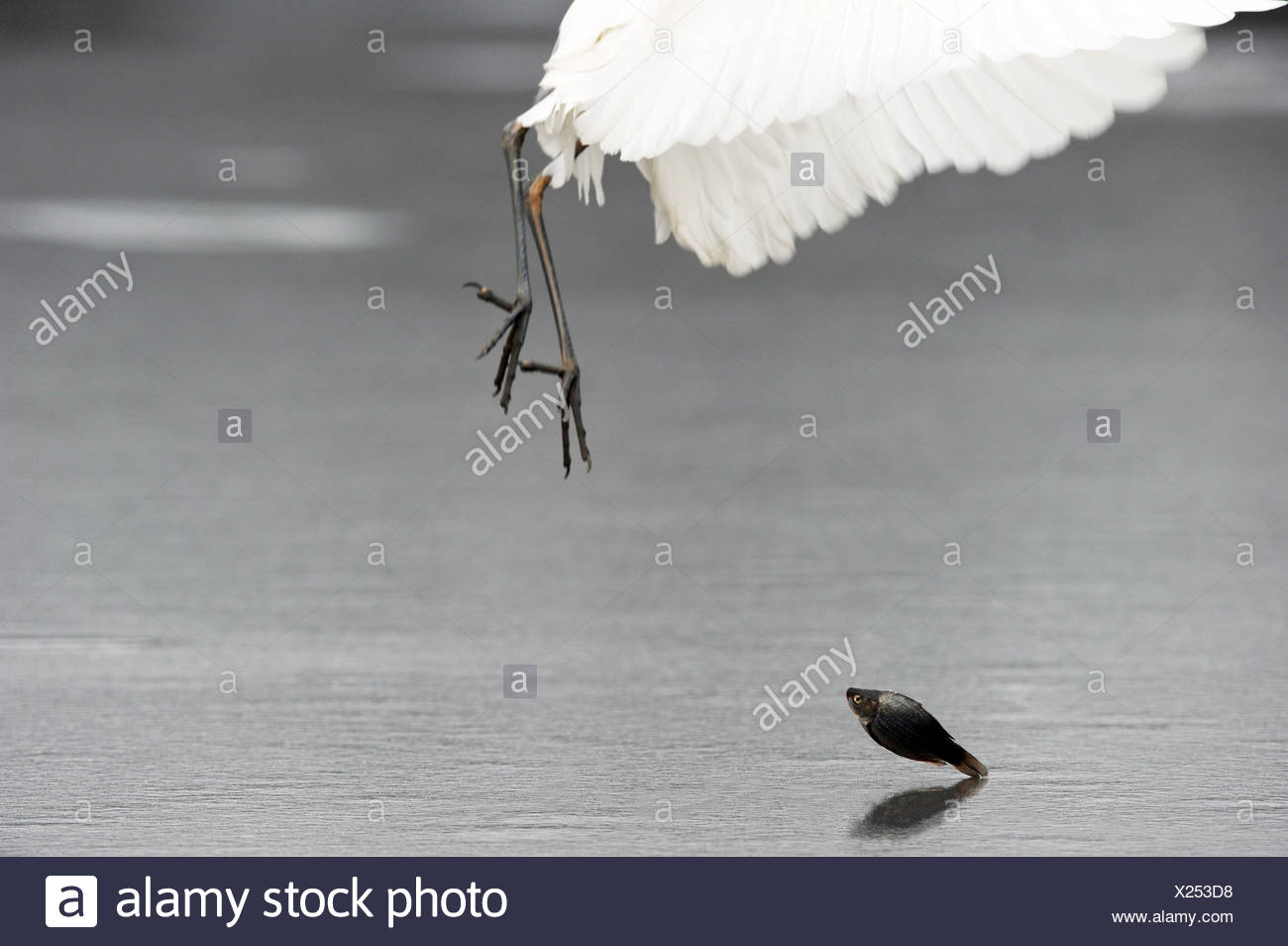 great egret, Great White Egret (Egretta alba, Casmerodius albus, Ardea alba), lets fall a caught fish on an ice sheet of a frozen lake, Hungary - Stock Image