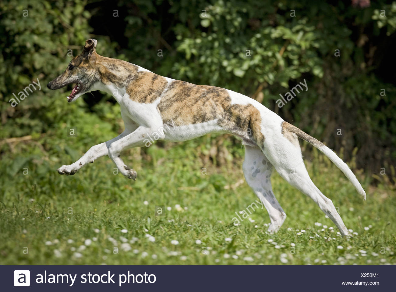 Greyhound dog - running on meadow Stock Photo