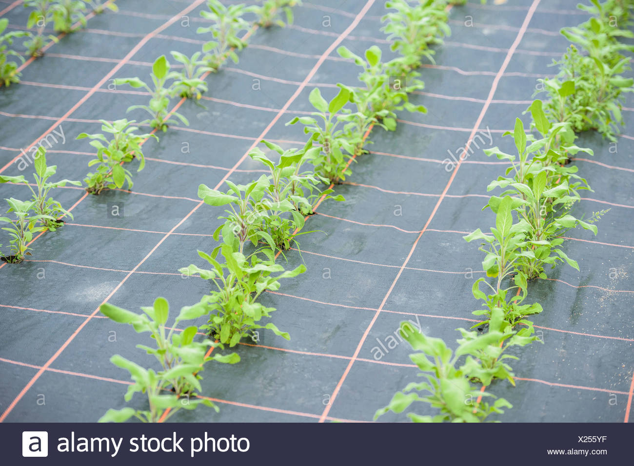 Rows of sage growing - Stock Image