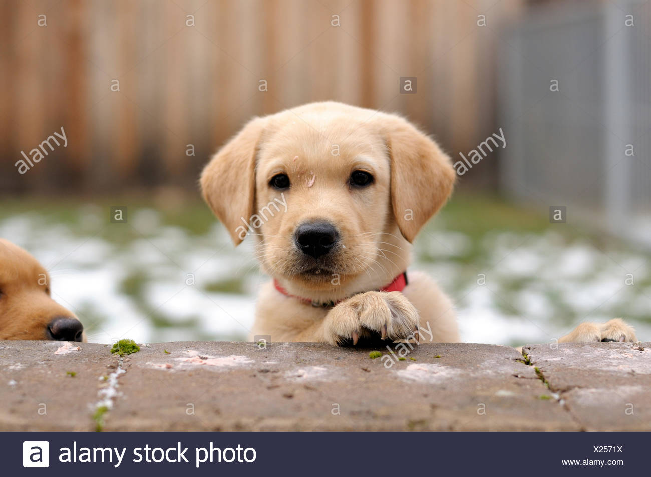Blonde Labrador Retriever Puppy Looking Over A Wall Stock Photo Alamy