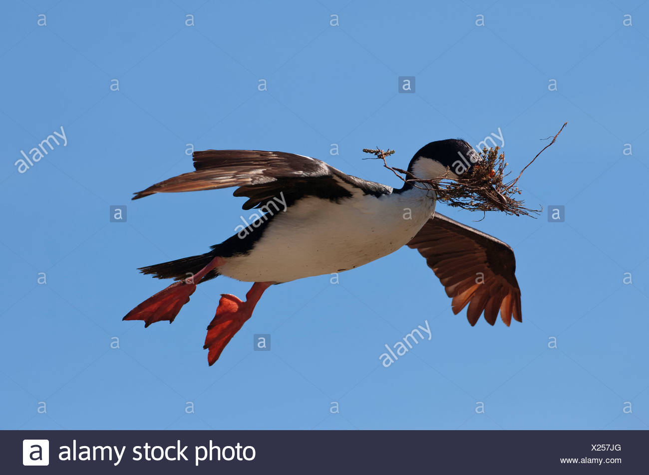 Imperial Shag - Stock Image