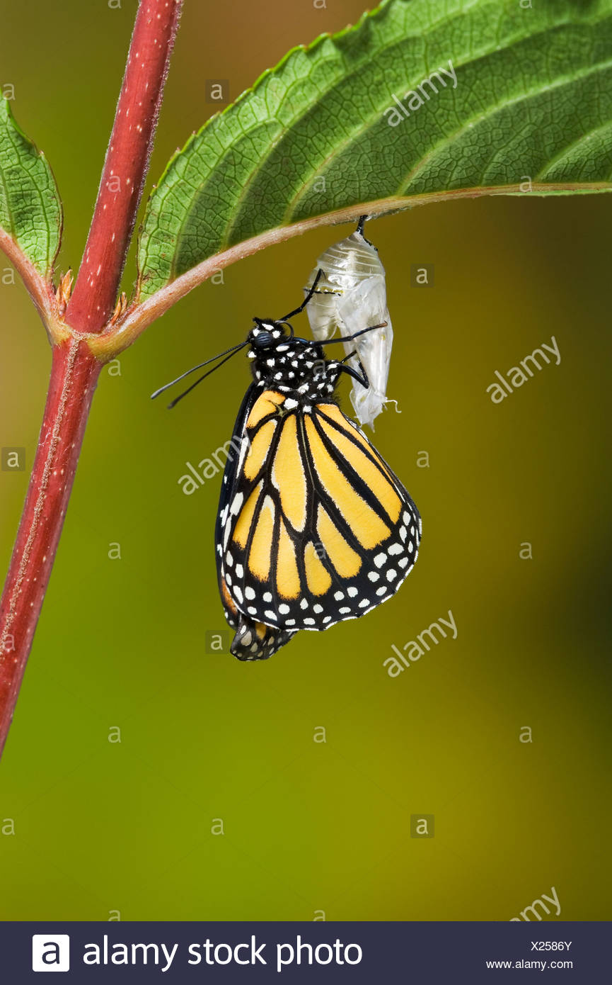 Adult Monarch butterfly hangs onto empty chrysalis to pump meconium from abdomen into wings, Summer, NS, Series of 5 images. - Stock Image