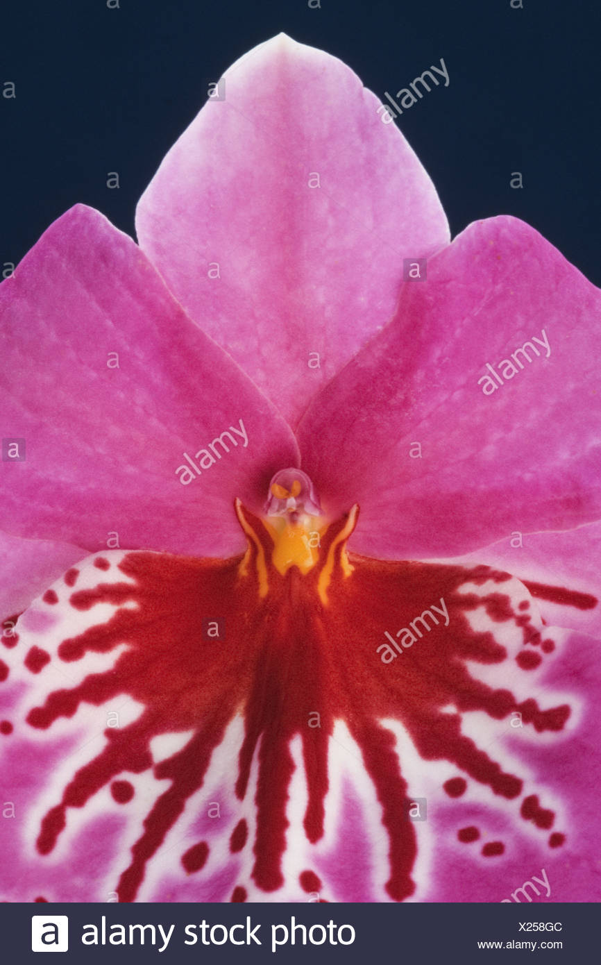 Orchid Miltonia hybrid petals markings flower - Stock Image