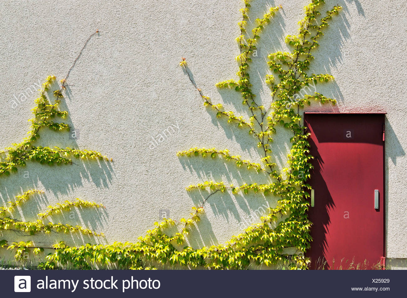 Japanese creeper, Boston ivy, Grape ivy, Japanese ivy, and woodbine (Parthenocissus tricuspidata) on a house wall, Munich - Stock Image