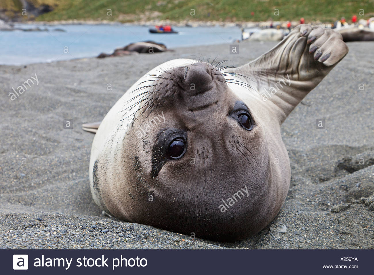 South Atlantic Ocean, United Kingdom, British Overseas Territories, South Georgia, Southern elephant seal - Stock Image