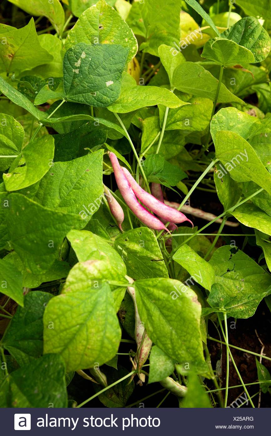Pink Pinto Bean Plant With Ripe Fruit In The Garden Andevalo Sierra De Aracena Huelva Andalucia Spain Europe Stock Photo Alamy