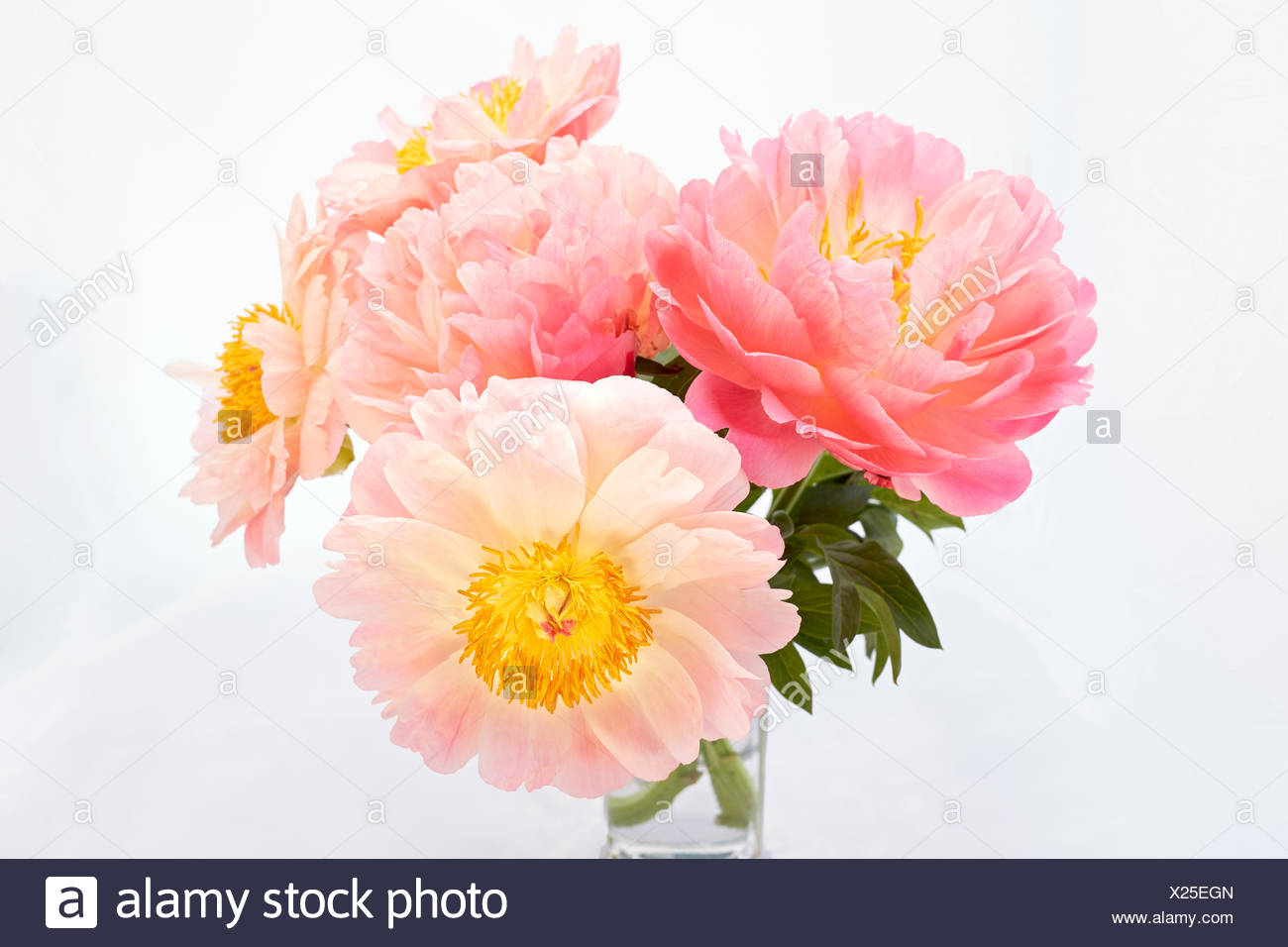 Peonies (Paeonia) in a vase - Stock Image