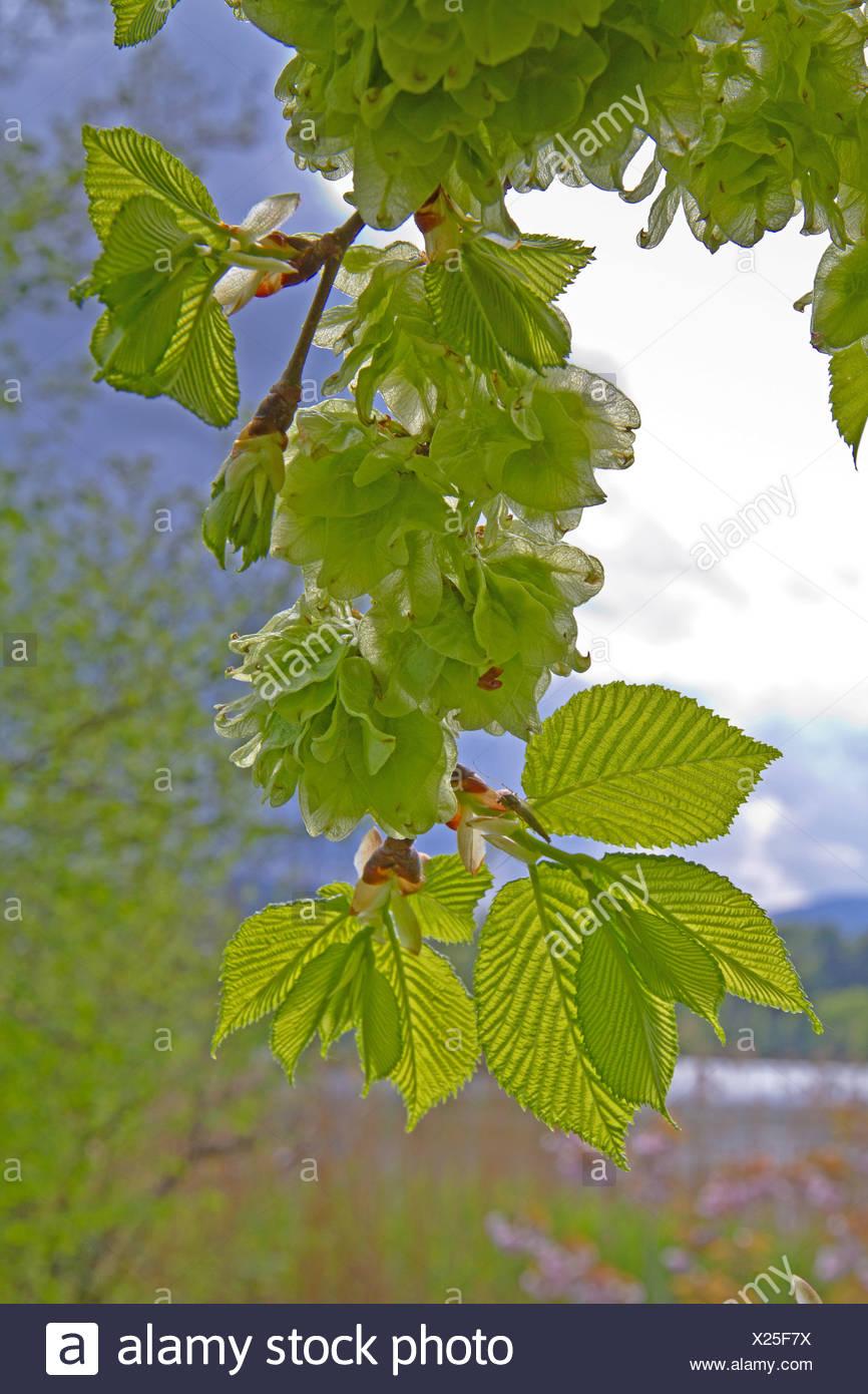 Scotch elm, Wych elm (Ulmus glabra, Ulmus scabra), branch wirth fruits in backlight, Germany, Bavaria - Stock Image