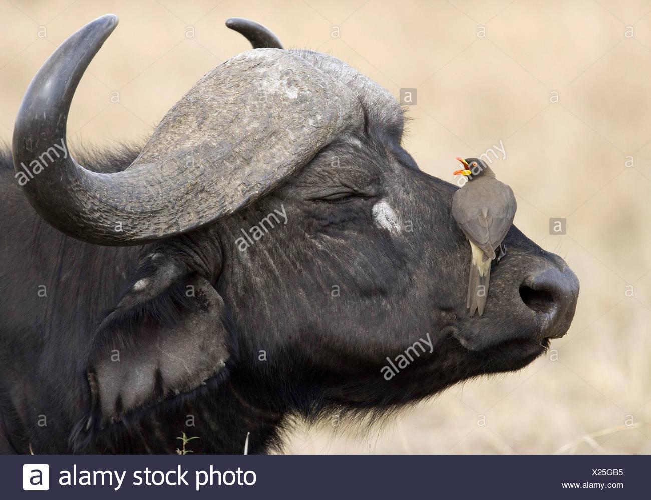zoology / animals, mammal / mammalian, Bovidae, African Buffalo (Syncerus caffer), detail: head, bird (Yellow-billed Oxpecker) sitting on mouth, Masai Mara, Kenya, distribution: Africa, Additional-Rights-Clearance-Info-Not-Available Stock Photo