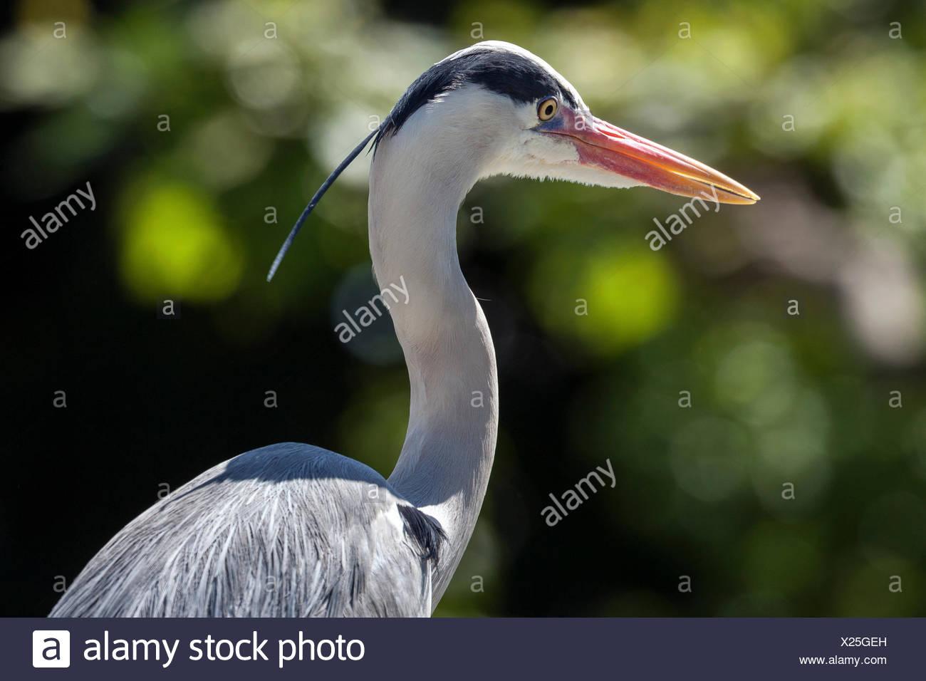 Grey heron (Ardea cinerea), Baden-Württemberg, Germany - Stock Image