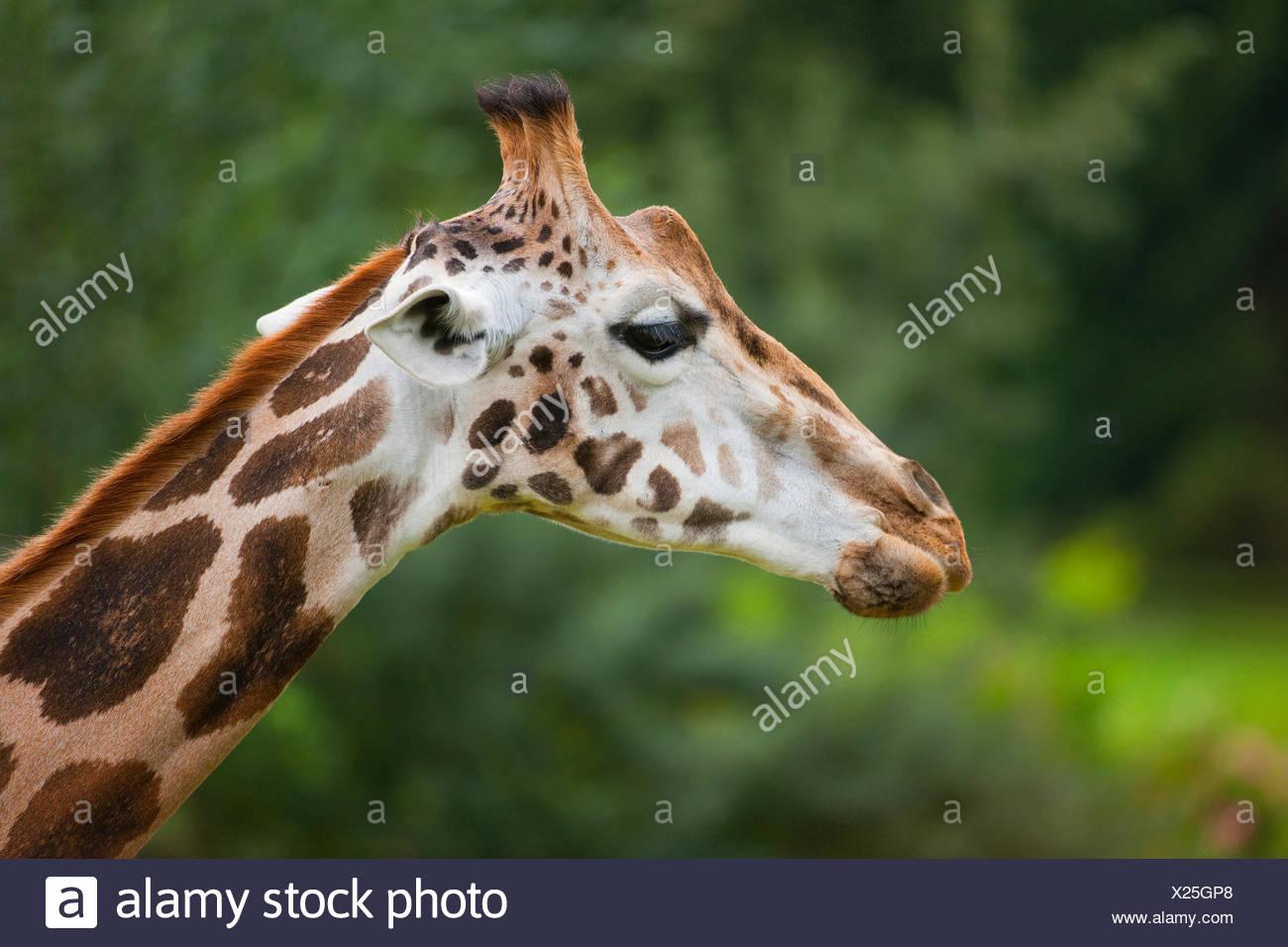 Rothschild's Giraffe (Giraffa camelopardalis rothschildi), captive, Saxony, Germany - Stock Image